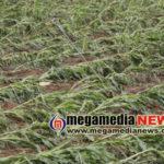Rain-destroys-crops