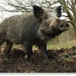 boar attack