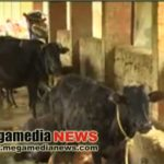 Cow Theft