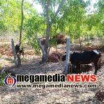 Seven-cattle