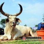 kankrej bulls